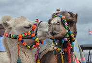 pic of south glos show camels